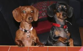 Think two dogs who look like these guys and a doxie/something mix to make up the third. (thank you internet as my phone doesn't want to sync...pos)