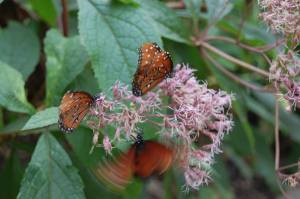 I think these were Queen butterflies.